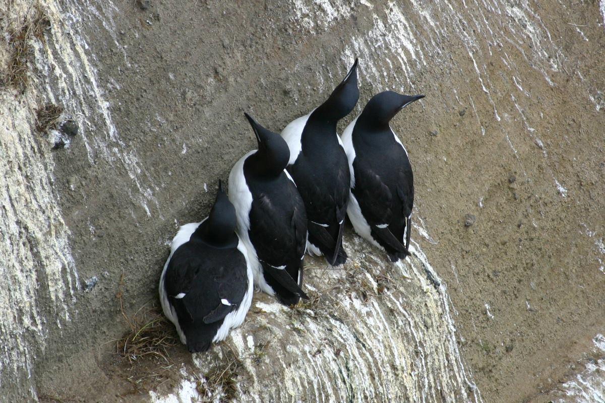 Riesiger schwarzer Hahn röhre
